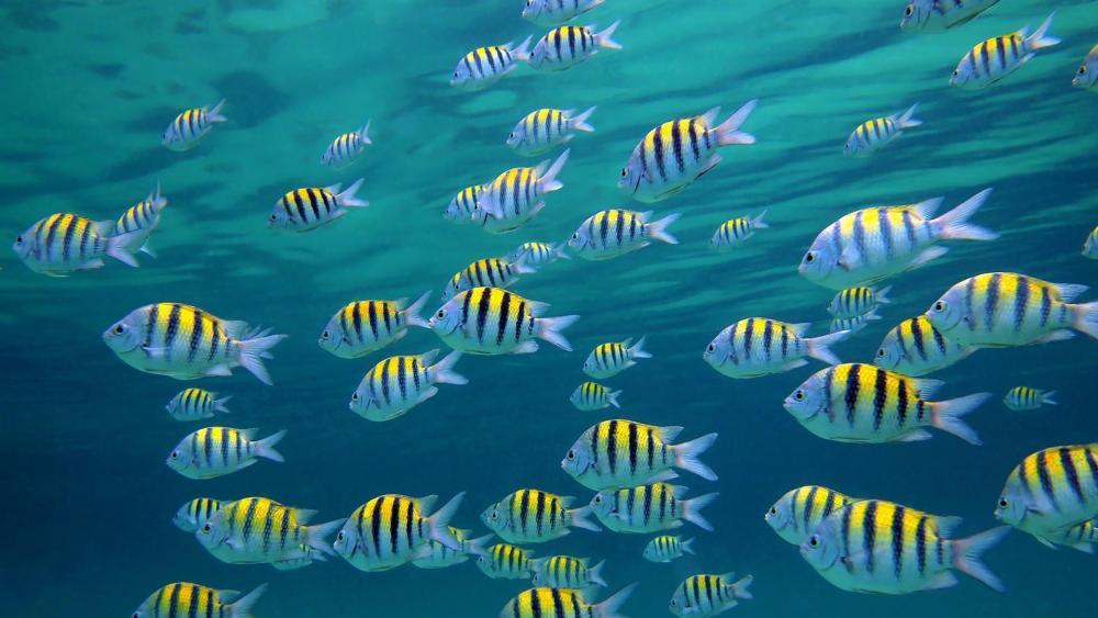 School of Fish wallpaper