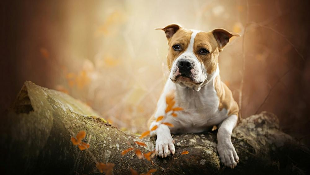 American Staffordshire Terrier wallpaper