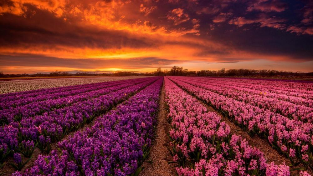 Hyacinth field (Netherlands) wallpaper