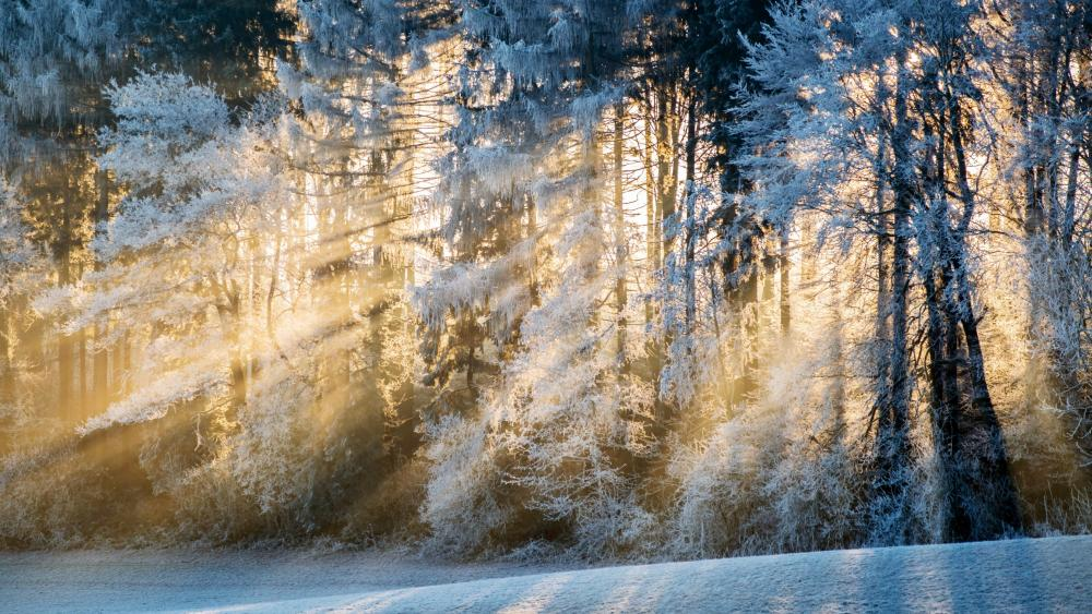 Sunshine through the frozen trees wallpaper