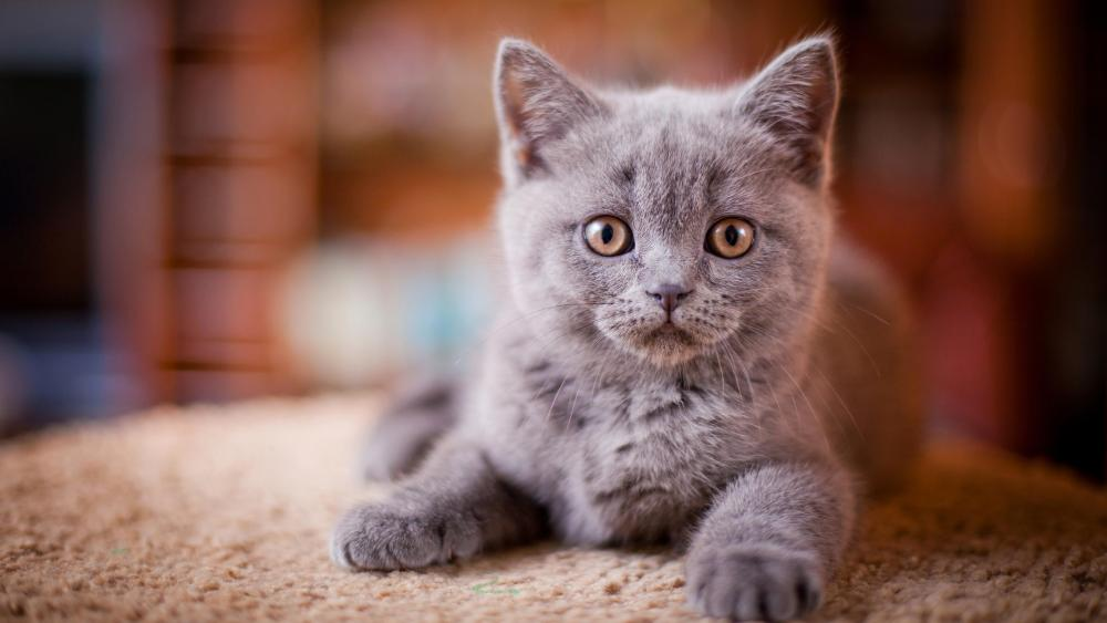 British Shorthair Cat wallpaper