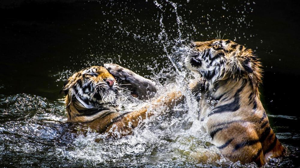 Tiger fight wallpaper