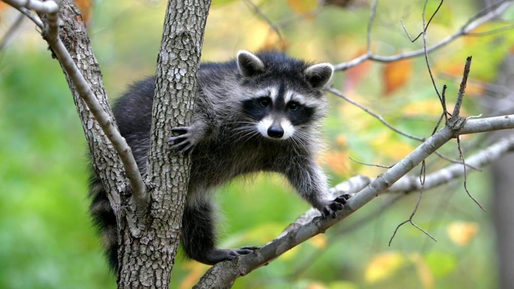 Tree climbing raccoon wallpaper