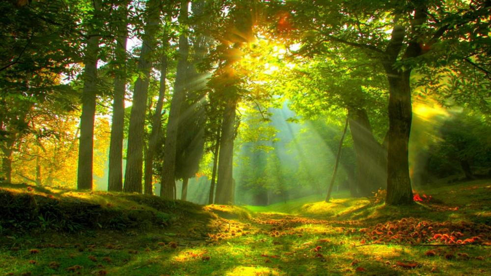Sun rays in forest wallpaper