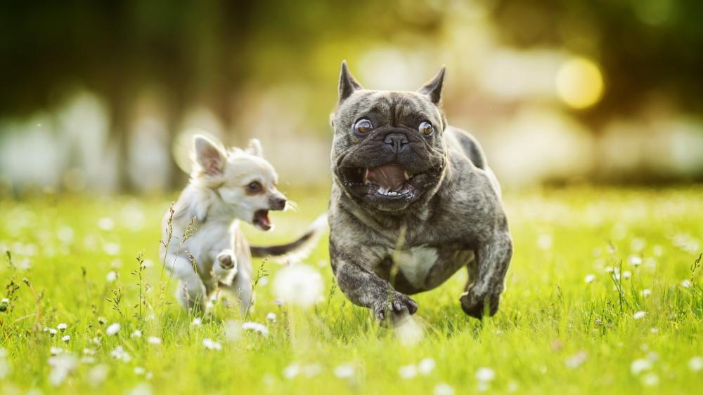 Chihuahua chasing French bulldog wallpaper