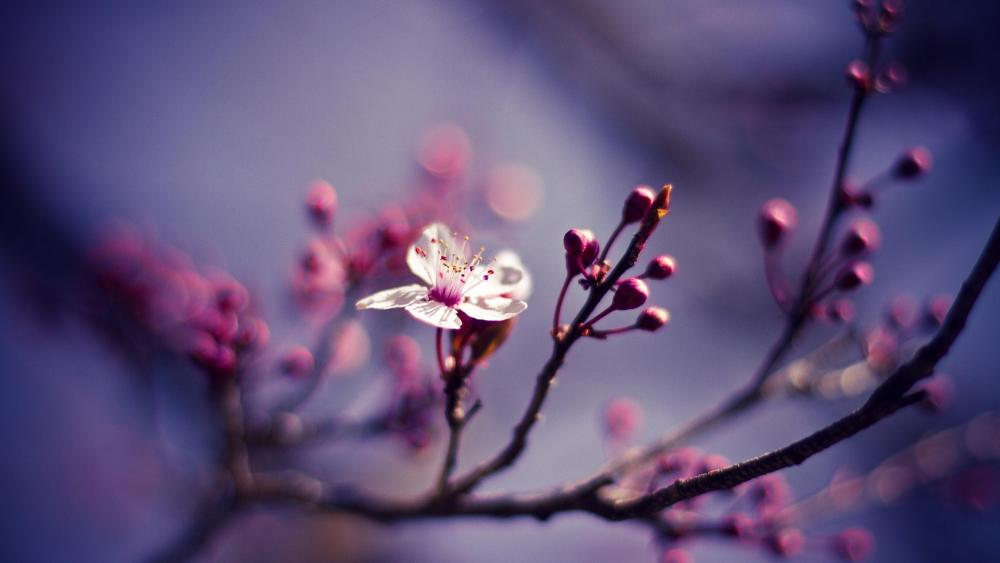 Cherry blossom - Macro photography wallpaper