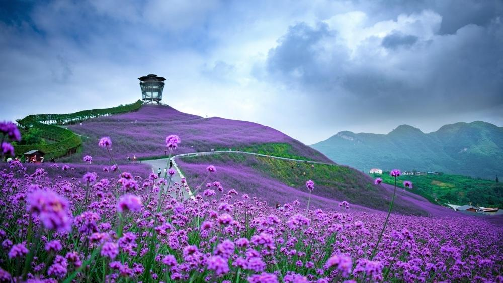 Verbena field (Tongzi, Guizhou Province, China) wallpaper