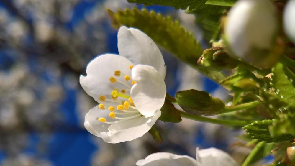 Flor Almendro (Almond Flower) wallpaper