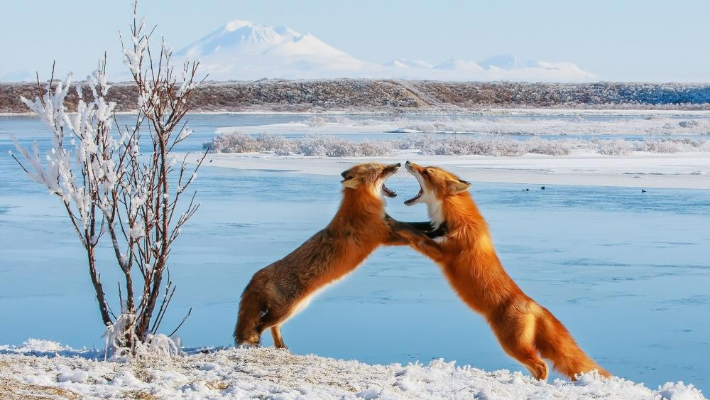 Fox fight wallpaper