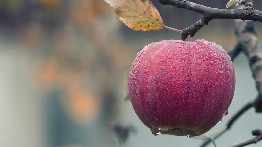Apple tree in the rain wallpaper