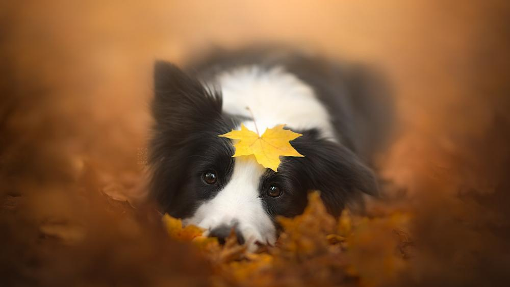 Border Collie with a yellow leaf on his head wallpaper