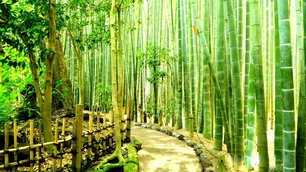 Bamboo Forest in Kamakura, Japan wallpaper