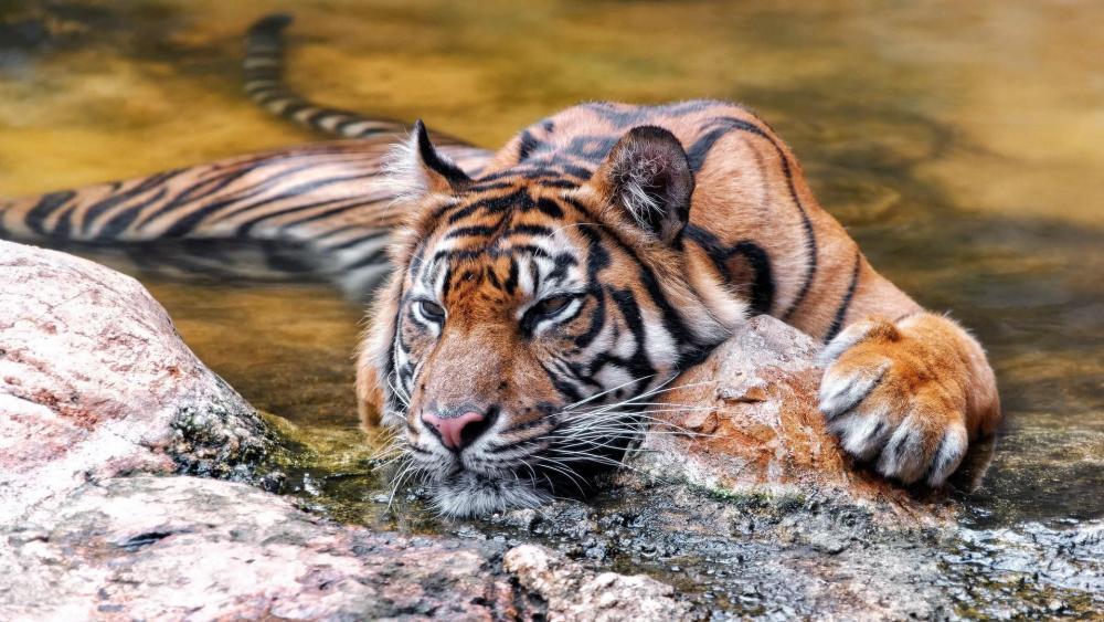 Tiger chill wallpaper