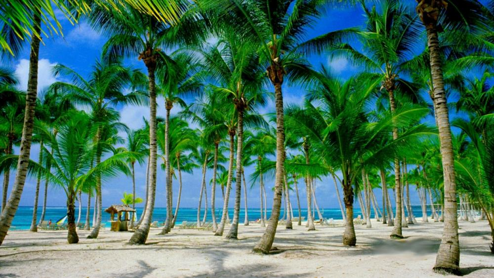 Beach palms (Punta Cana, Dominican Republic) wallpaper