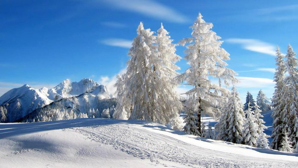 Snowy pines on a sunny winter day wallpaper