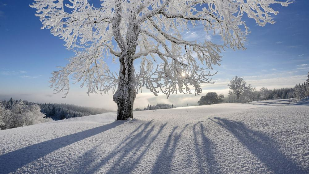 Lone tree shadow on the snow wallpaper