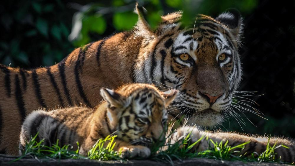 Baby tiger & mother wallpaper