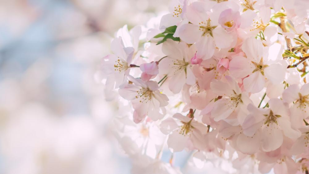Spring blossoms wallpaper