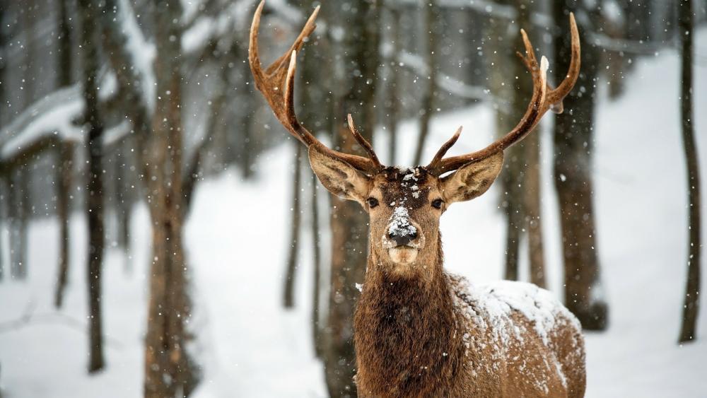 Deer in the snowfall wallpaper