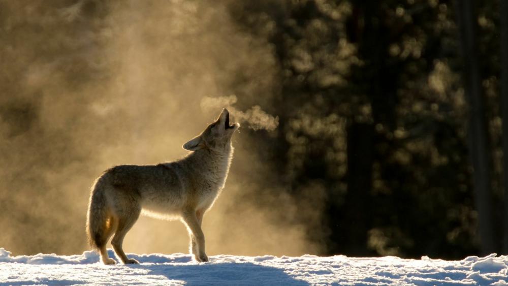 Winter wolf howling wallpaper