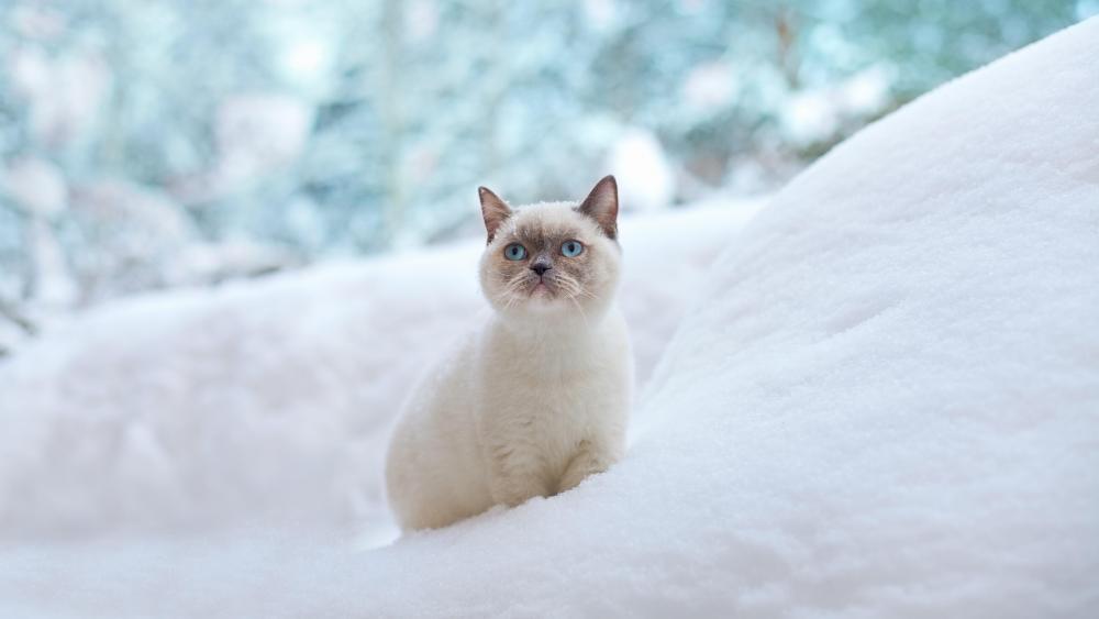 Ragdoll cat in the snow wallpaper