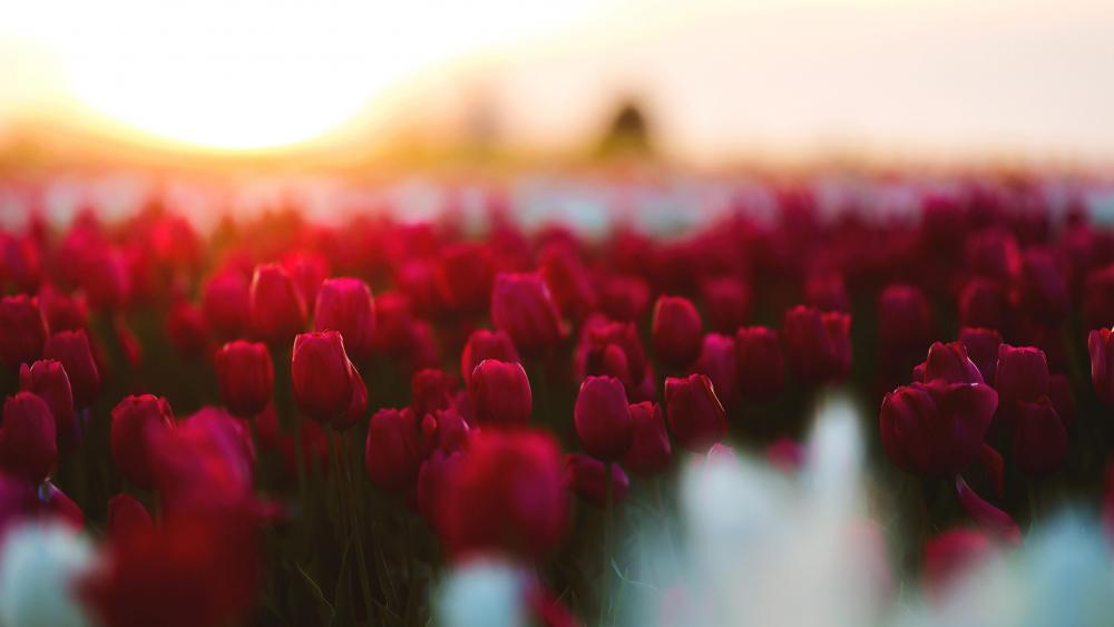 Red tulips garden wallpaper
