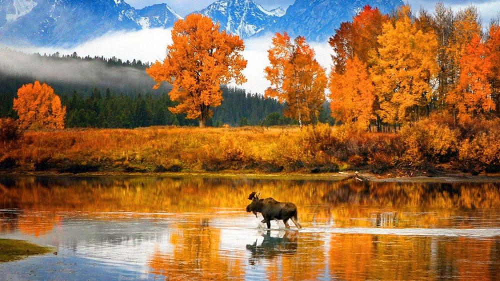 Moose in the Snake River (Grand Teton National Park) wallpaper