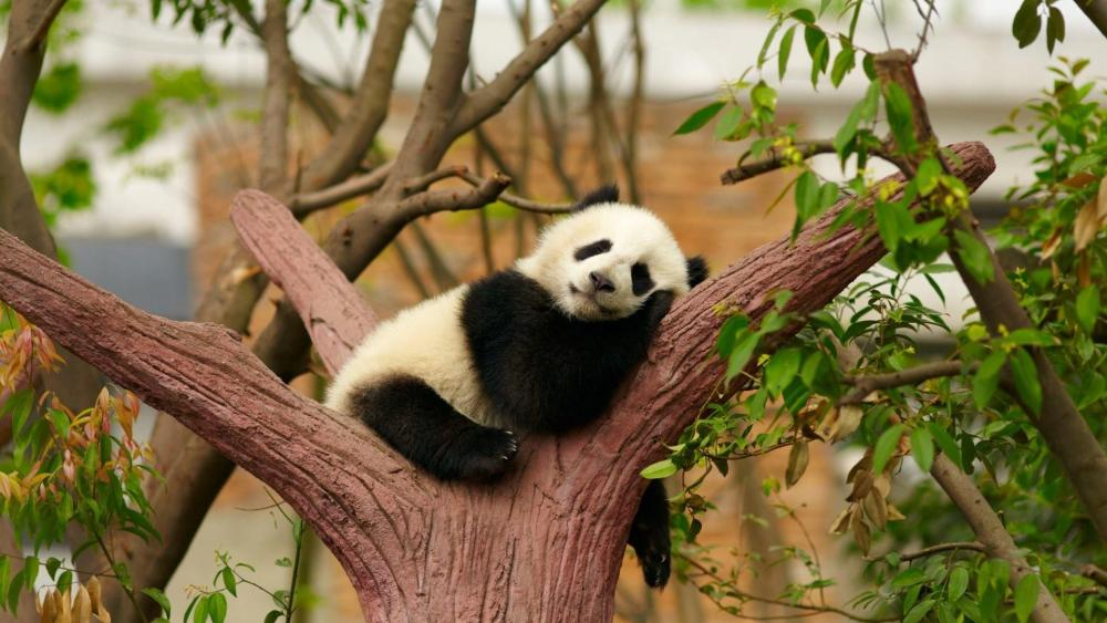 Relaxing Panda Bear wallpaper
