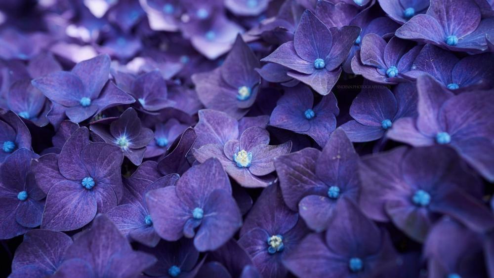 Bluish purple hortensia  flowers wallpaper