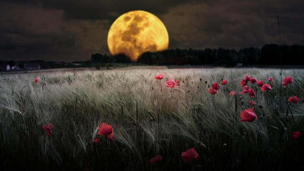 Full moon over the wheat field with poppies wallpaper