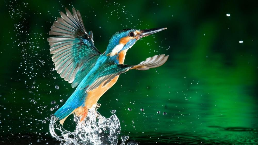 Kingfisher wallpaper