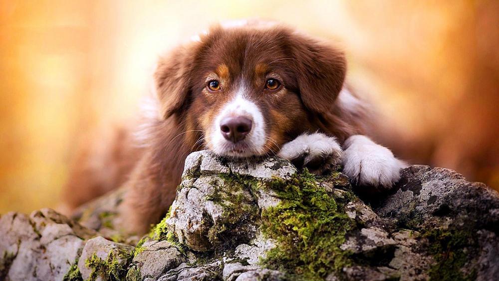 Sad Puppy (Nova Scotia Duck Tolling Retriever) wallpaper