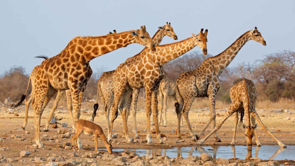 Herd of giraffes (Etosha National Park, Namibia) wallpaper