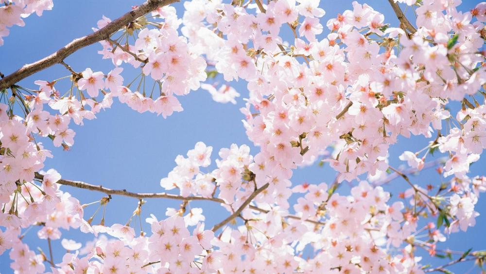 Cherry blossoms under sunny spring wallpaper