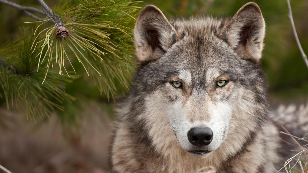 Gray wolf wallpaper