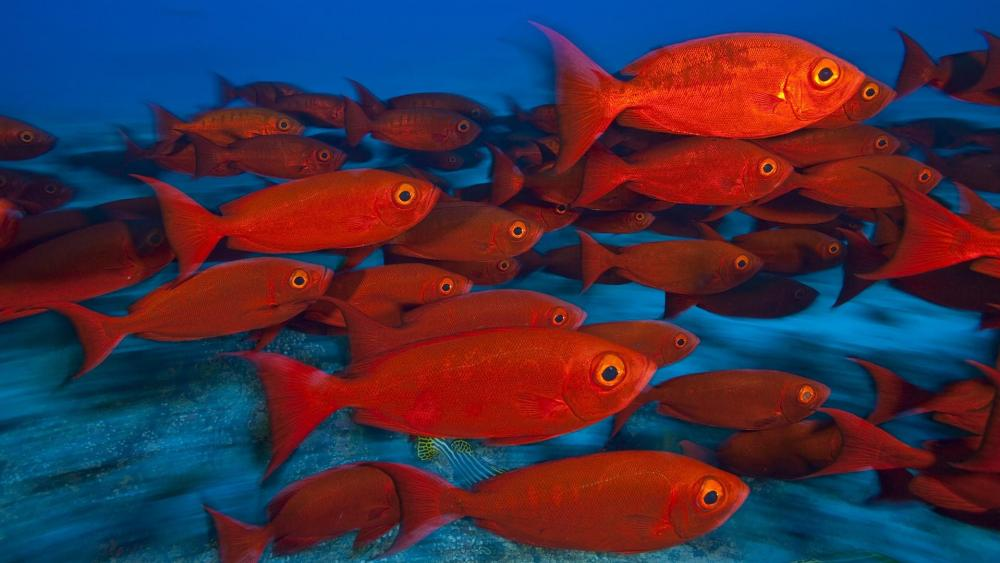 School of red fish wallpaper