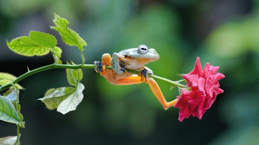 Frog on a a rose wallpaper