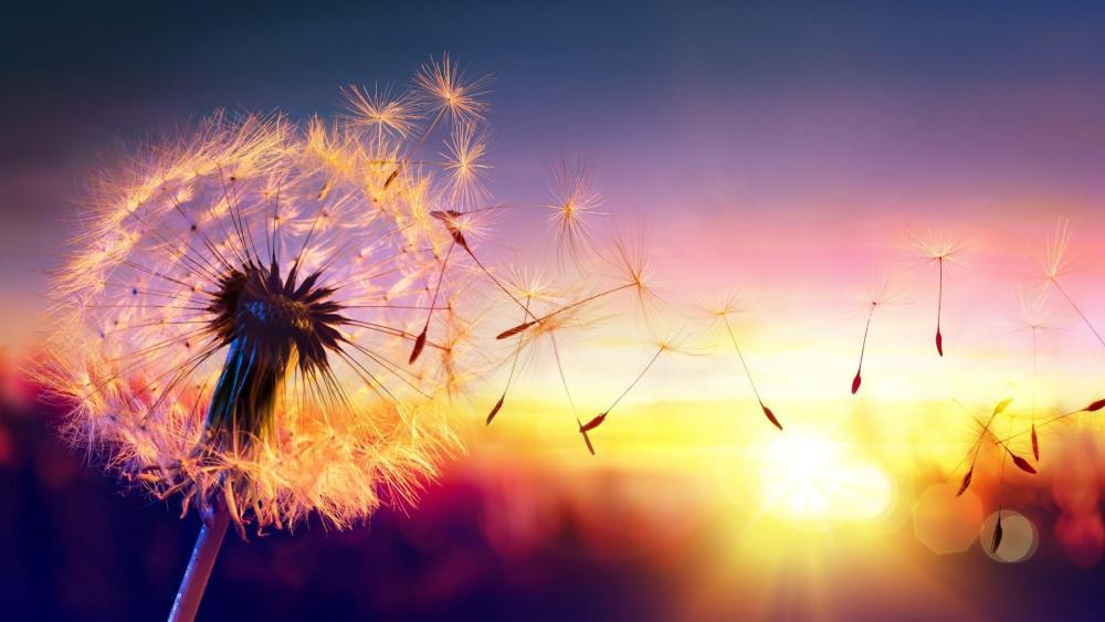 Floating Dandelion seeds in the sunset wallpaper