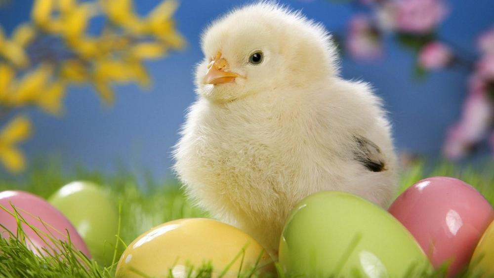 Easter baby chick wallpaper