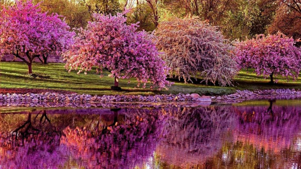 Blooming pink trees reflection wallpaper