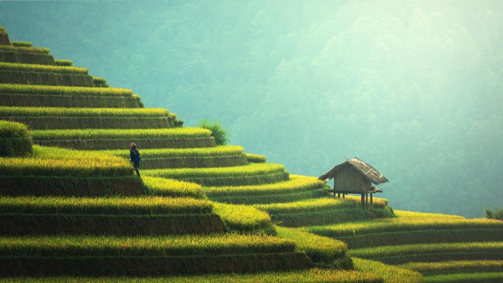 Terrace farming wallpaper