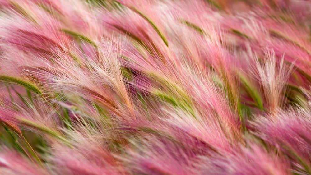 Pink Foxtail Barley (Hordeum jubatum) wallpaper