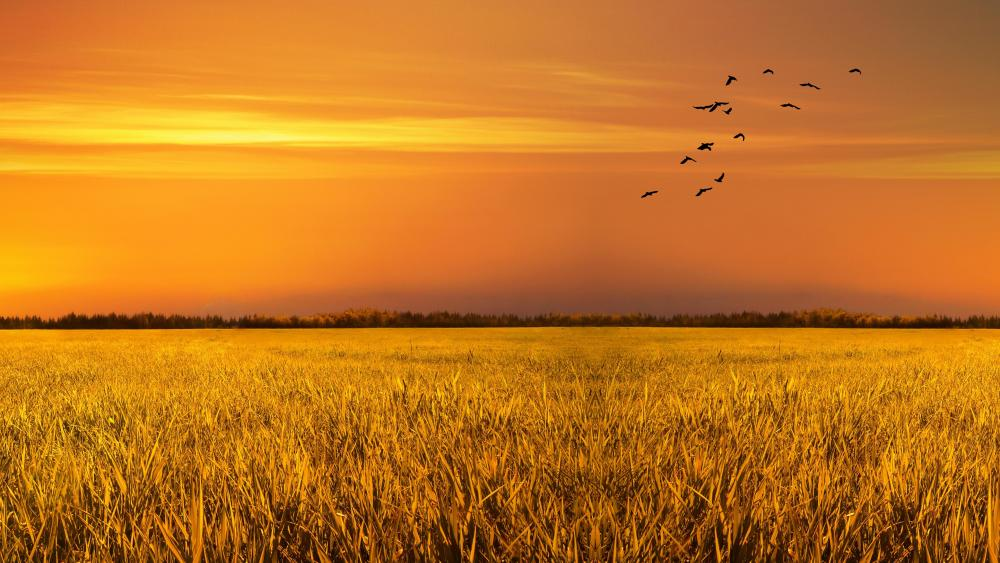 Wheat field birds at sunset wallpaper