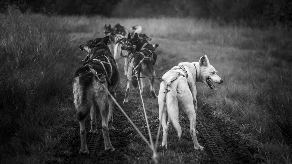 Sled dog team - Monochrome Photography wallpaper