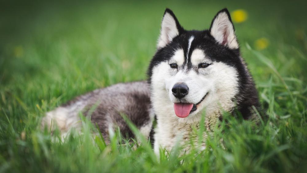 Siberian Huskyin the grass wallpaper