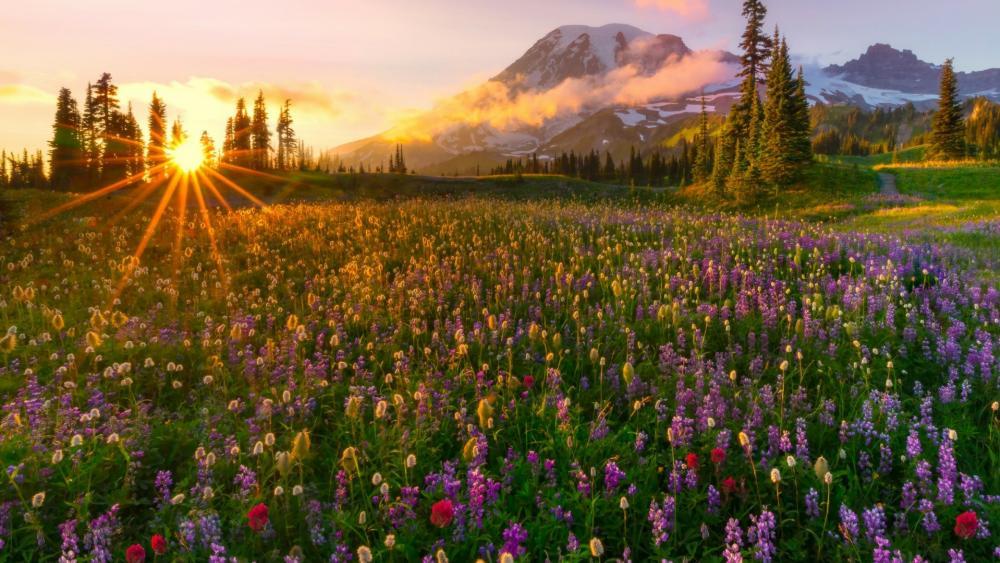 Wildflower carpet at the feet of the Mount Rainier wallpaper