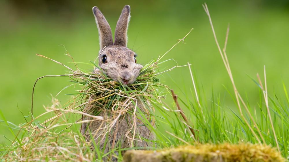 Hare wallpaper