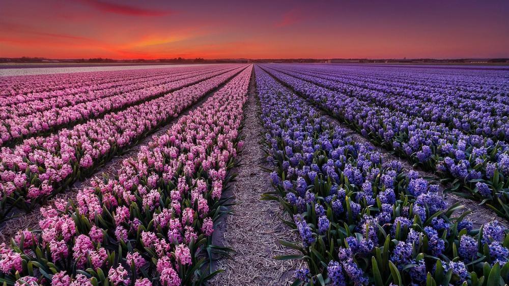 Spring sunset in Hyacinth field wallpaper