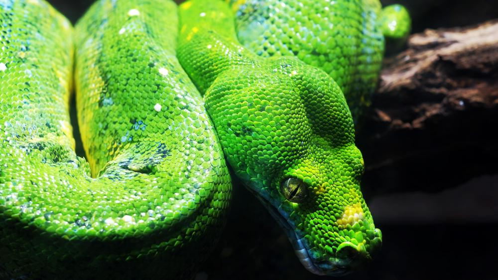 Green tree python wallpaper