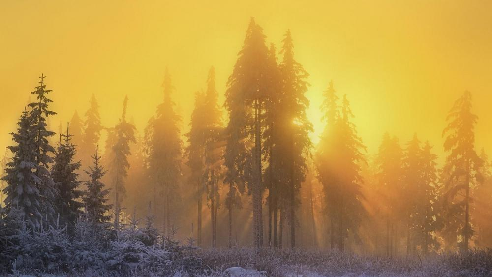 Yellow sunbeams through the winter forest wallpaper